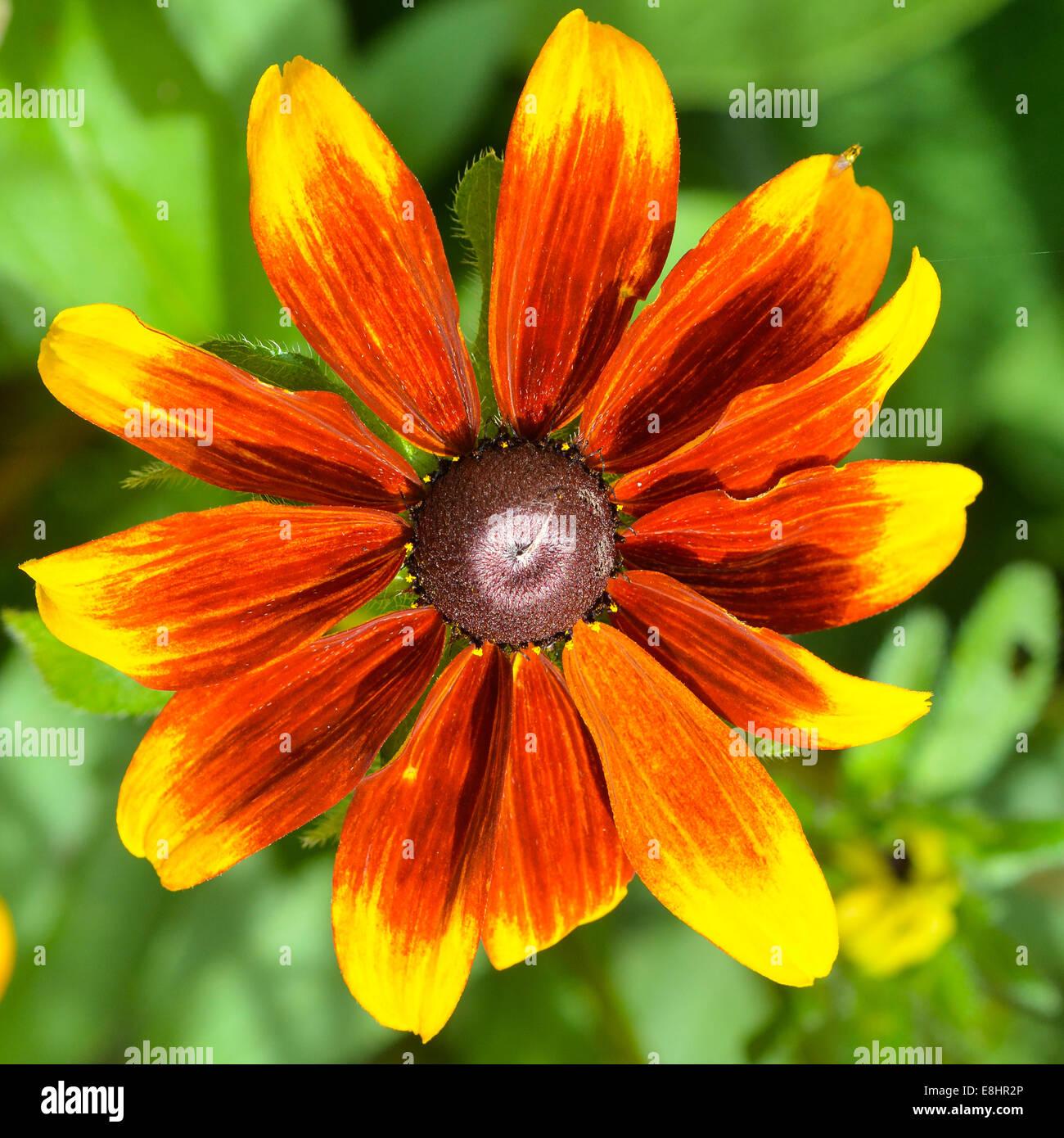 Cerca, la fotografía de formato cuadrado de un Black-eyed Susan flor Foto de stock