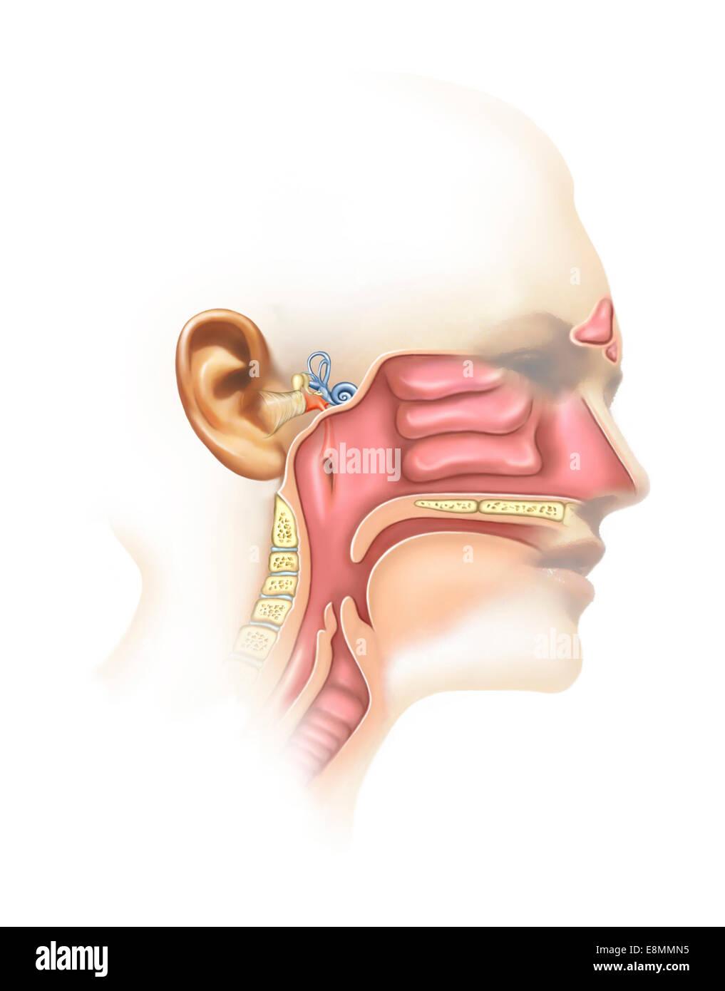 Frontal Sinuses Imágenes De Stock & Frontal Sinuses Fotos De Stock ...