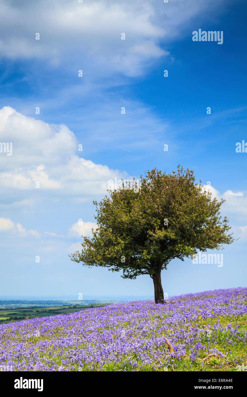 Las campánulas azules cerca de Okehampton campamento en el parque nacional de Dartmoor Imagen De Stock
