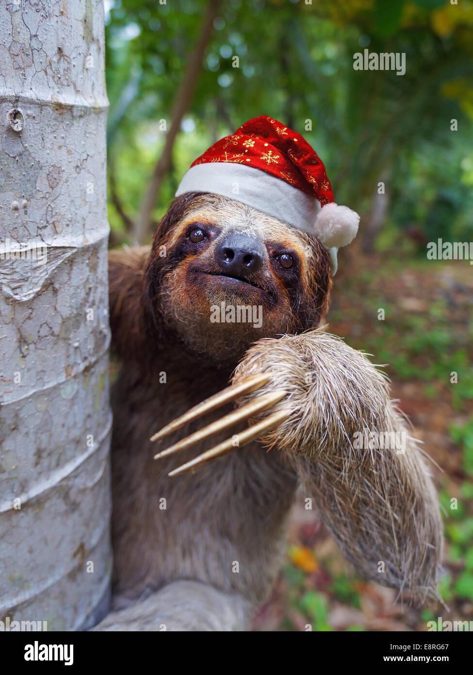 Animales de Navidad, retrato de una pereza llevando un gorro de Papá Noel Foto de stock