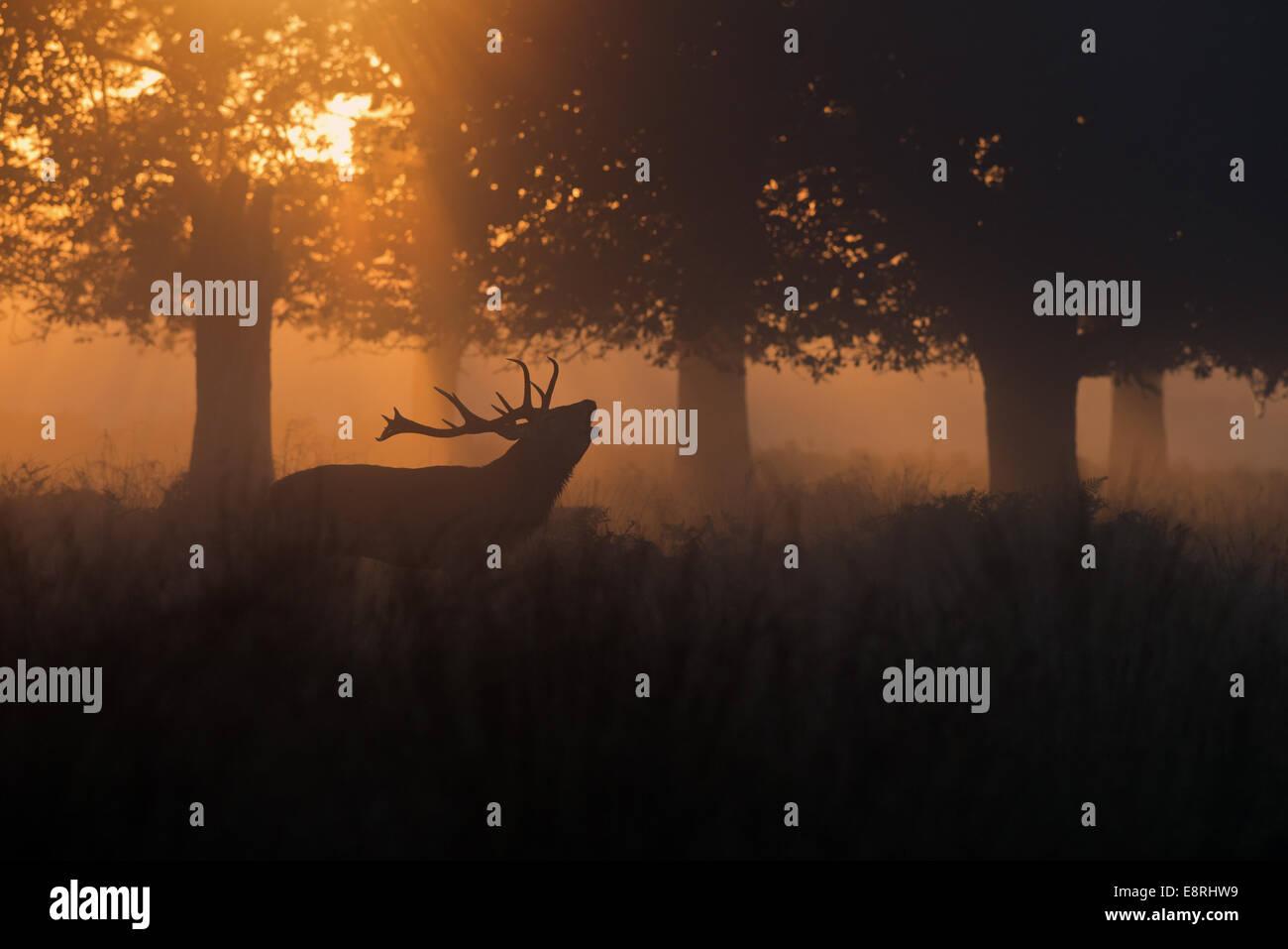 Macho de ciervo ciervo rojo (Cervus elaphus)- mugidos en la neblina al amanecer durante la temporada de celo en Imagen De Stock
