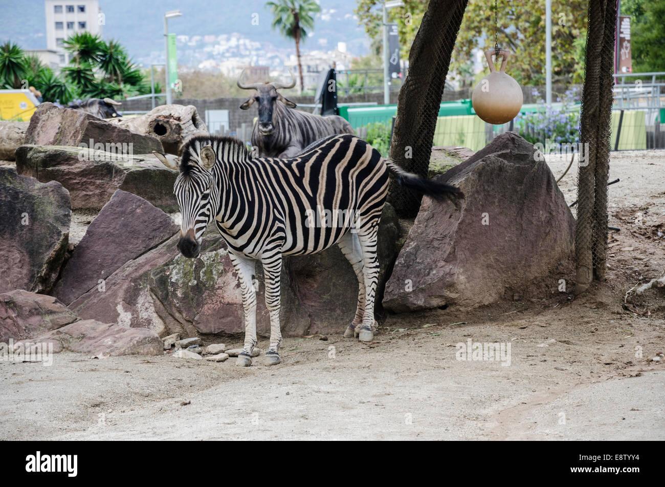 Cautivante fotografía de una cebra en el zoo de Barcelona. La cebra ...