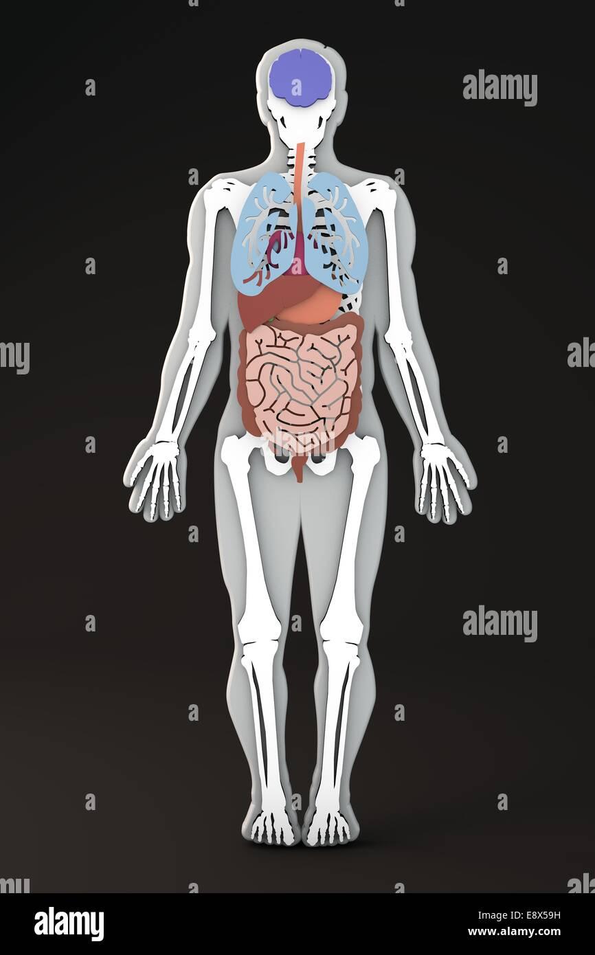 La sección de los órganos internos del cuerpo humano y aparatos Foto ...