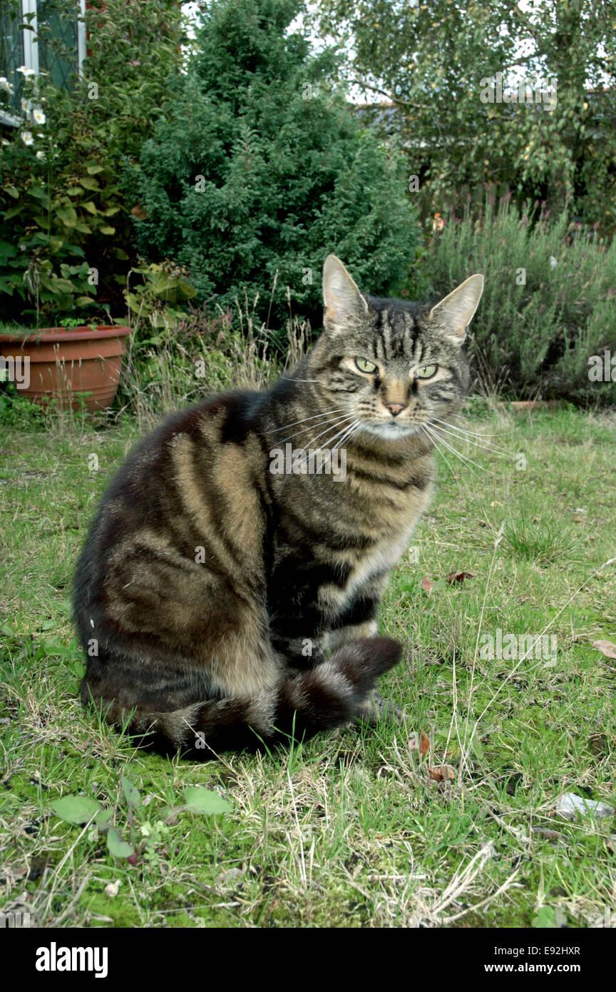 Gato atigrado interno - Felis silvestris catus Imagen De Stock