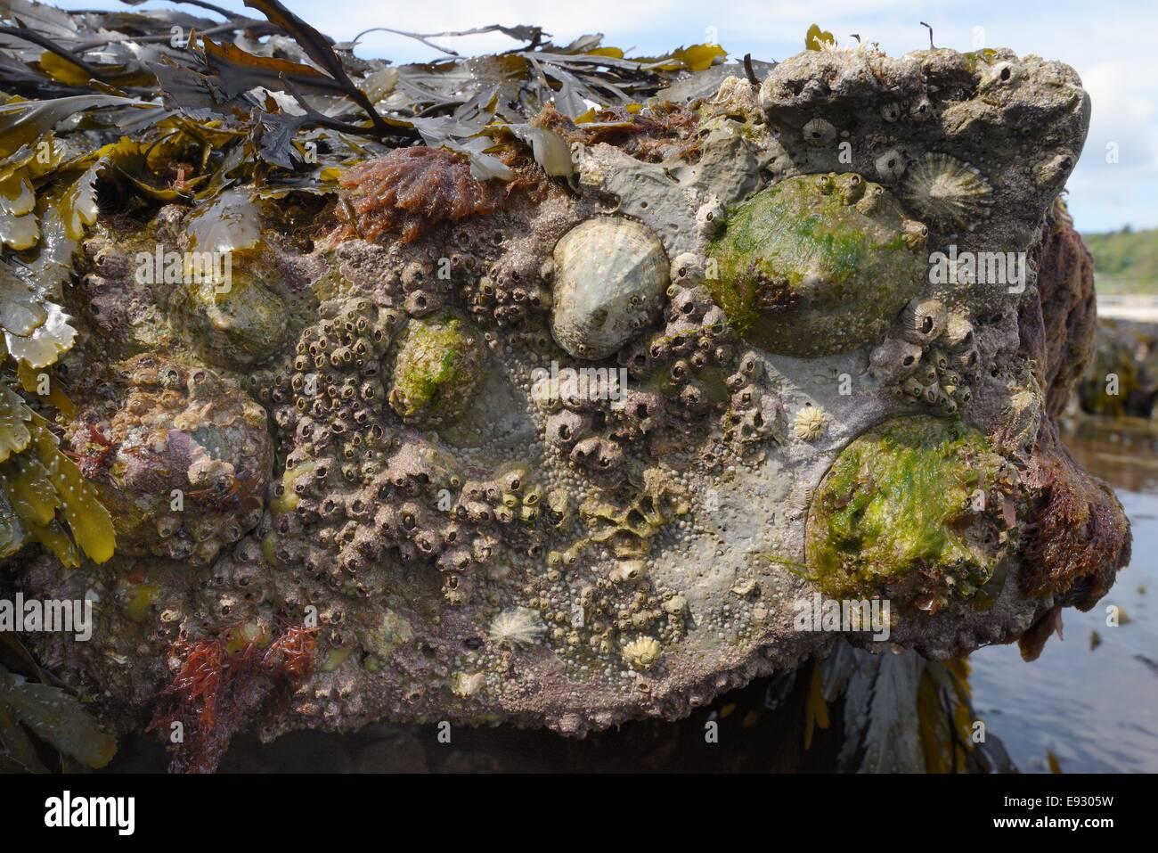 Lapa común (Patella vulgata) y Acorn percebes (Balanus perforatus) conectados a las rocas expuestas en la marea baja, Lyme Regis. Foto de stock