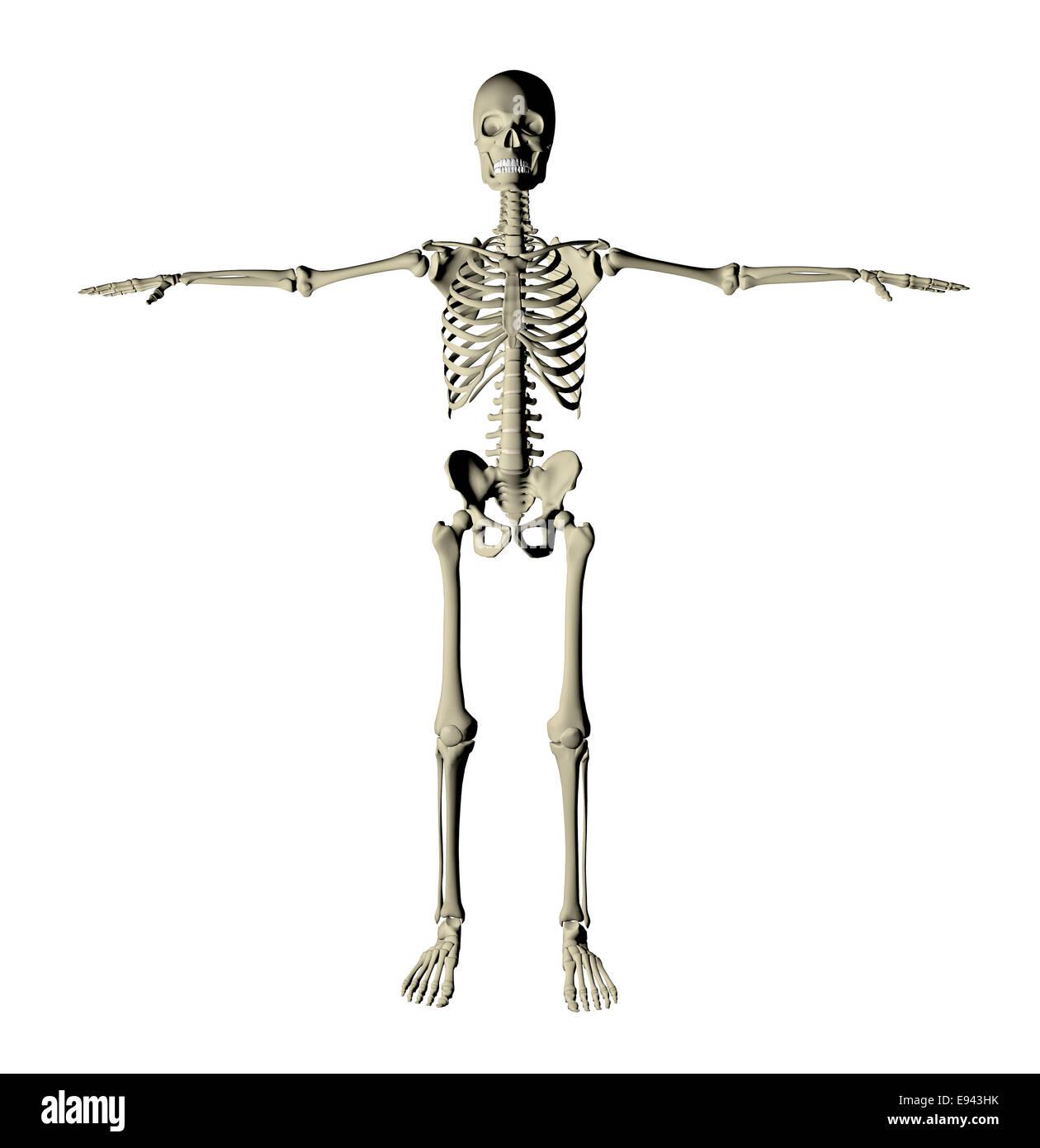 El esqueleto y los huesos de un cuerpo humano sobre un fondo blanco ...