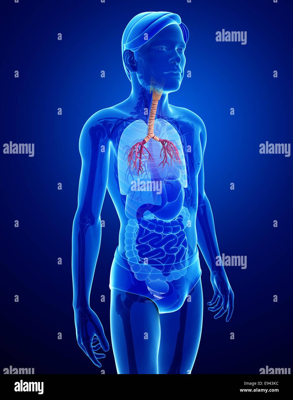 Ilustración de la anatomía de la garganta masculina Foto & Imagen De ...
