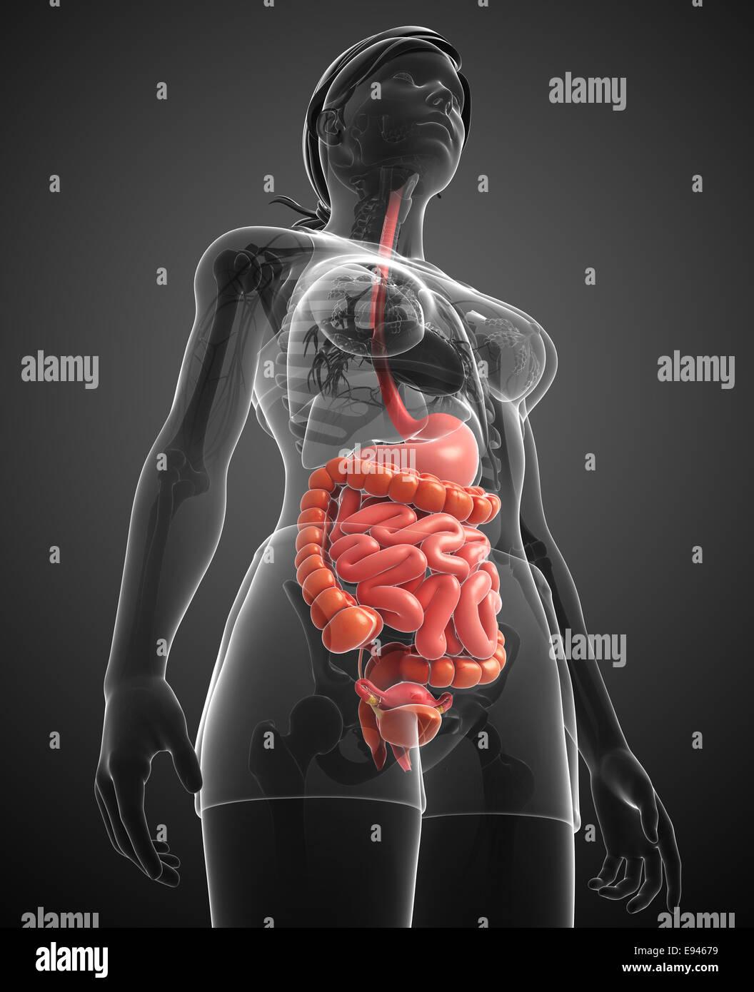 Ilustración de femenina Anatomía del intestino delgado Foto & Imagen ...