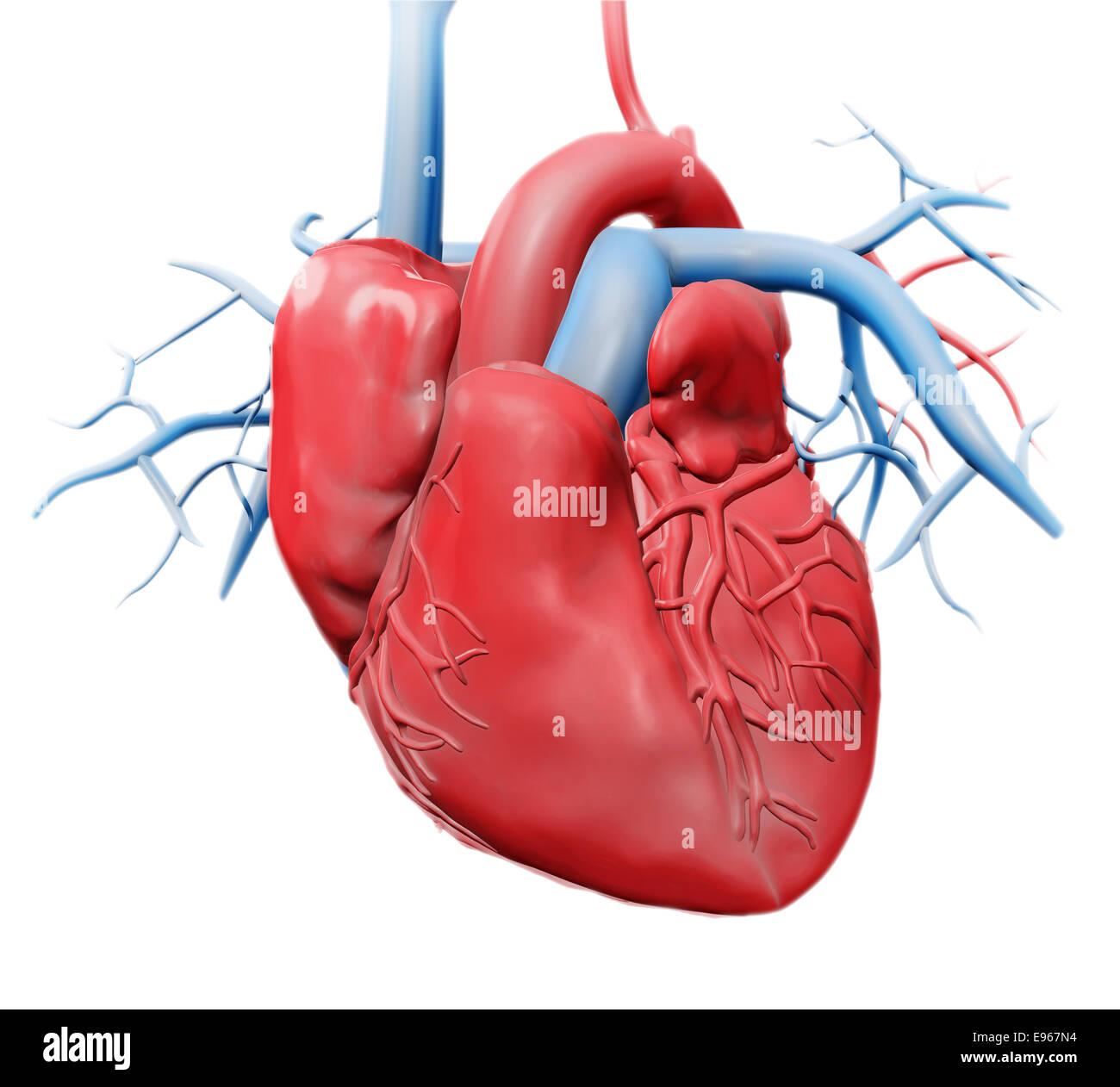 Corazón humano - Cardiología Salud ilustración Imagen De Stock