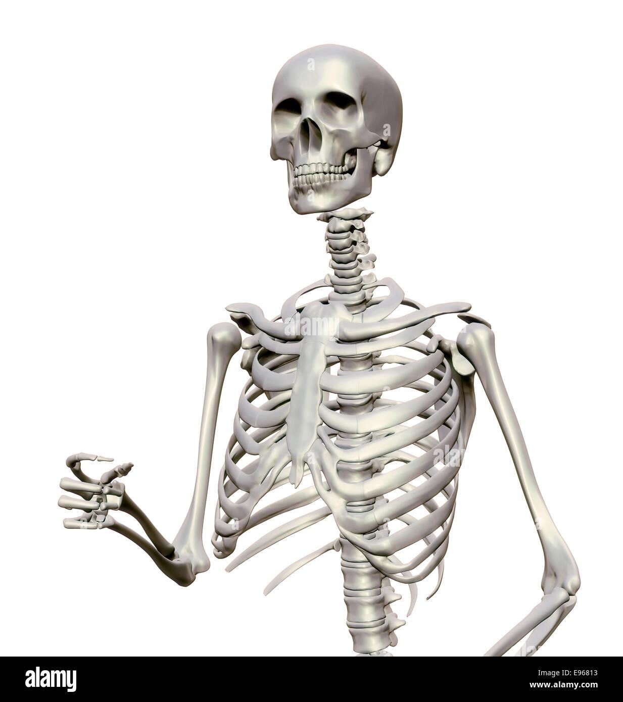 Esqueleto Humano - Ilustración anatómica Foto & Imagen De Stock ...