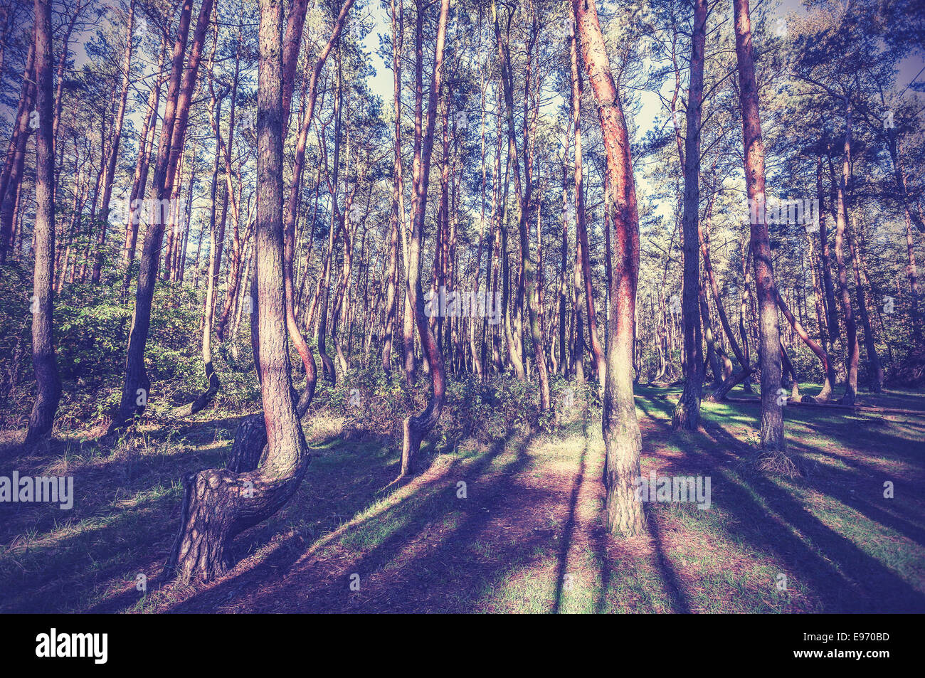Imagen de estilo vintage de Crooked Forest, Polonia. Imagen De Stock