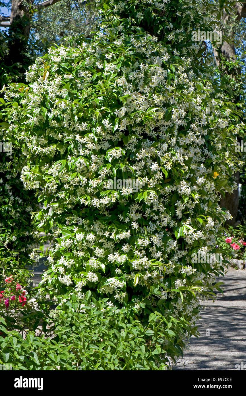 Floración, jazmín Jasminum officinale, en un jardín mediterráneo en la Bahía de Nápoles, Imagen De Stock