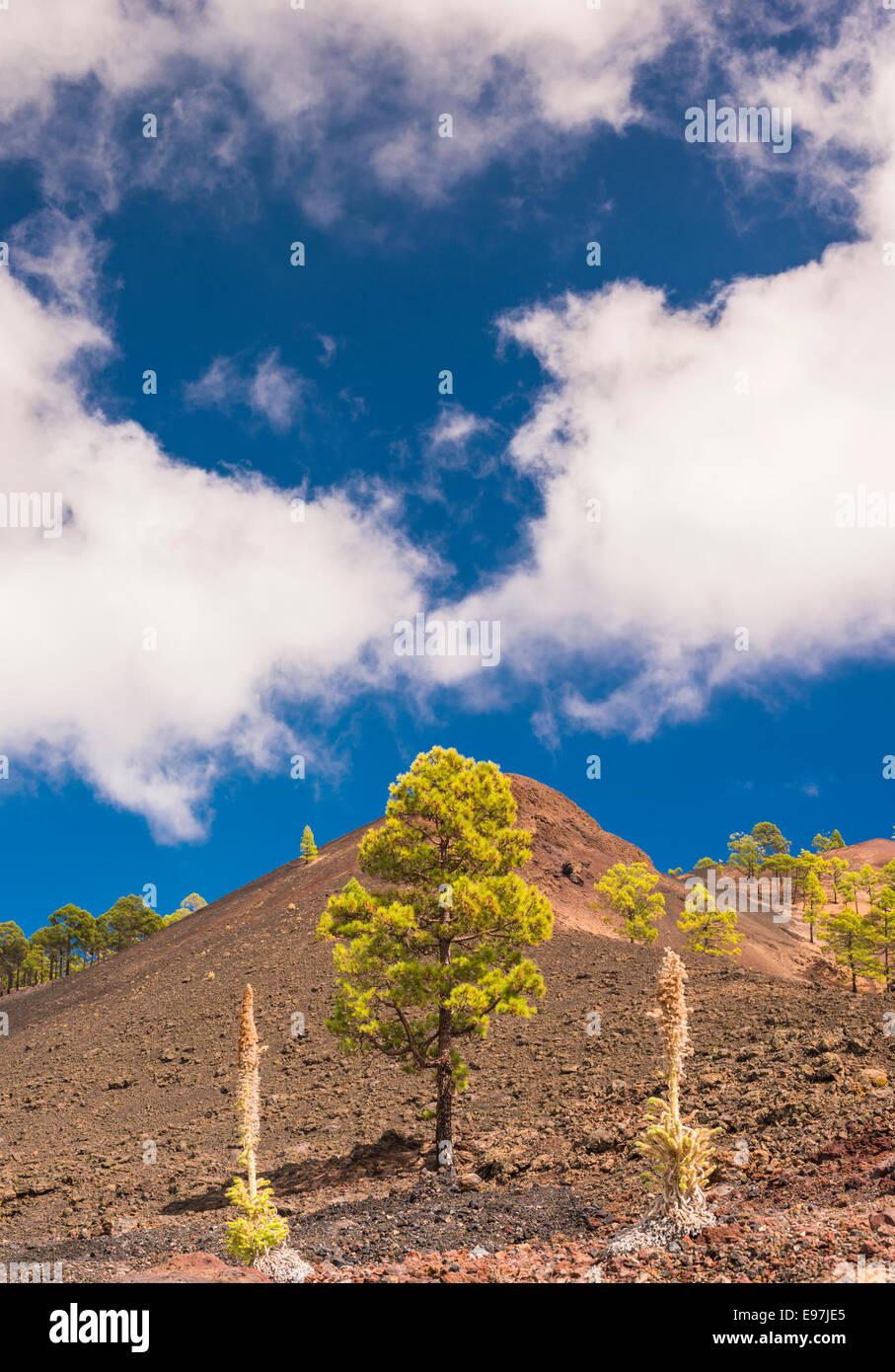 Montana Boca Cangrejo, un cono de escoria en el oeste de Tenerife formado en el 1492, con la erupción taginaste rojo en primer plano Foto de stock