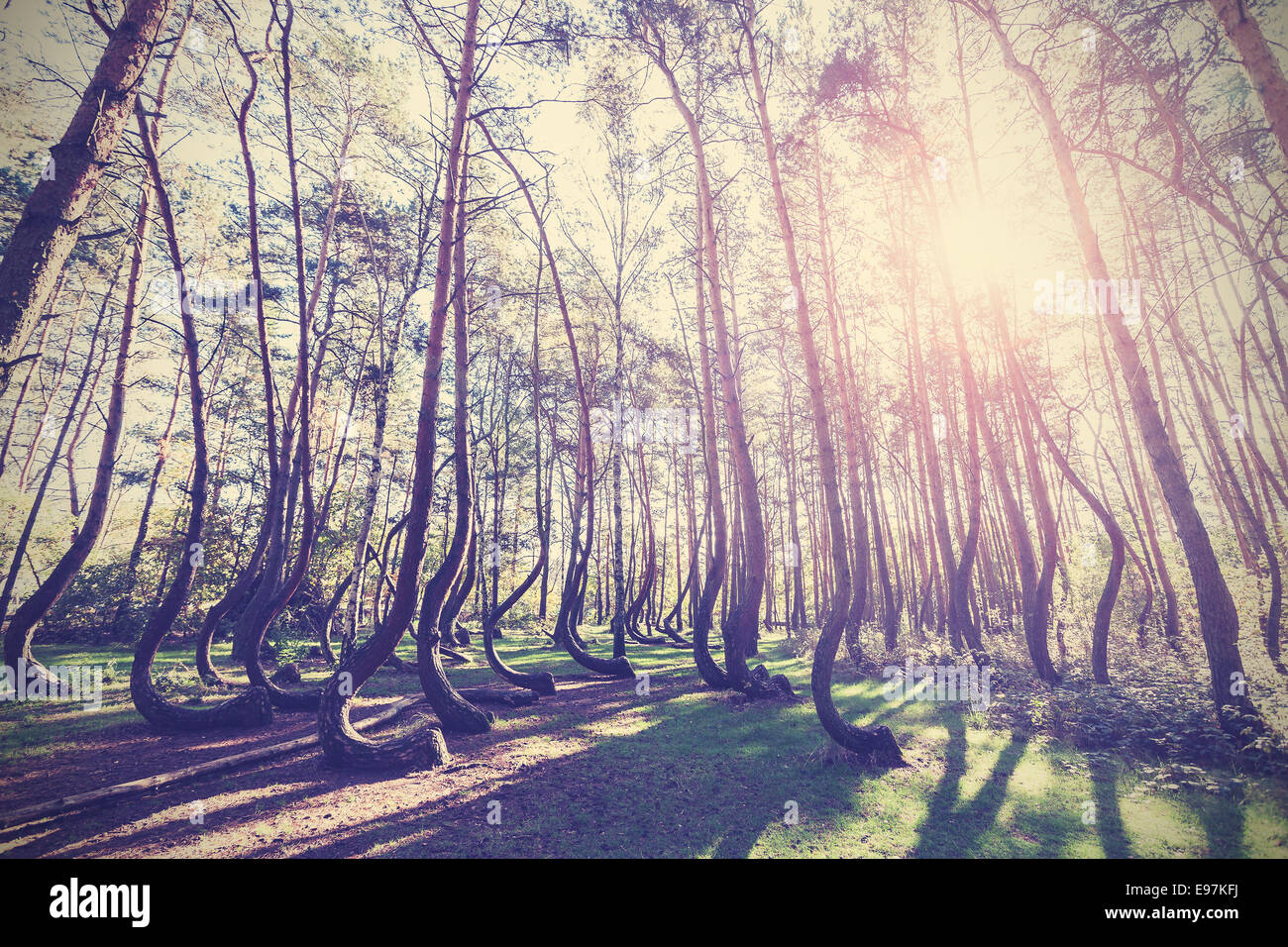 Imagen de estilo vintage de Crooked Forest, Gryfino en Polonia. Imagen De Stock