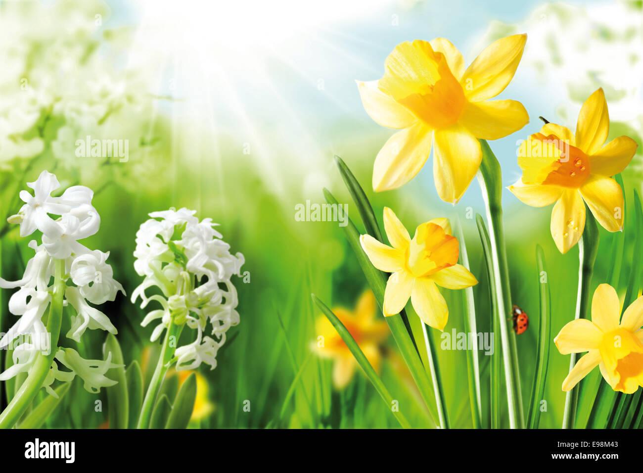 Alegre Bulbos De Primavera Fondo De Blanca Flor Narciso Y Narcisos - Narcisos-amarillos