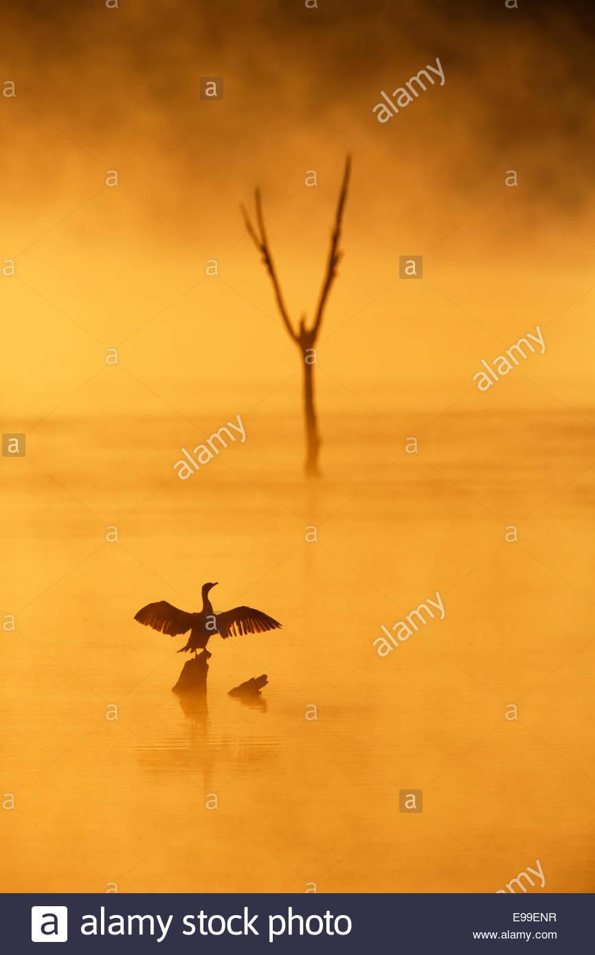 Double-Crested cormoranes (Phalacrocorax auritus) secando las alas al amanecer en la niebla Imagen De Stock