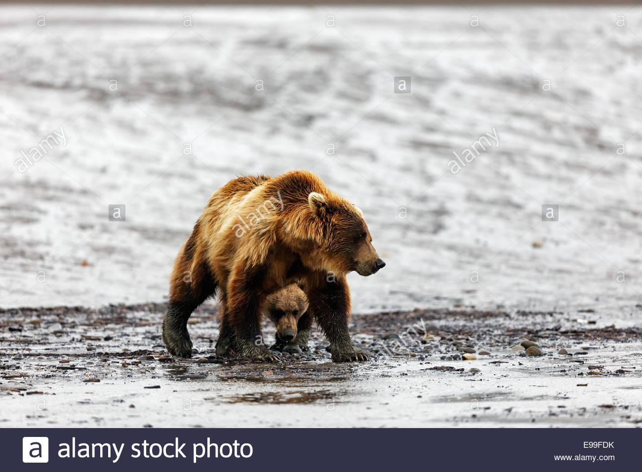 Grizzly Bear (oso pardo (Ursus arctos) hembra adulta) y una antigua cub caminar sobre pisos de lodo en Alaska Imagen De Stock