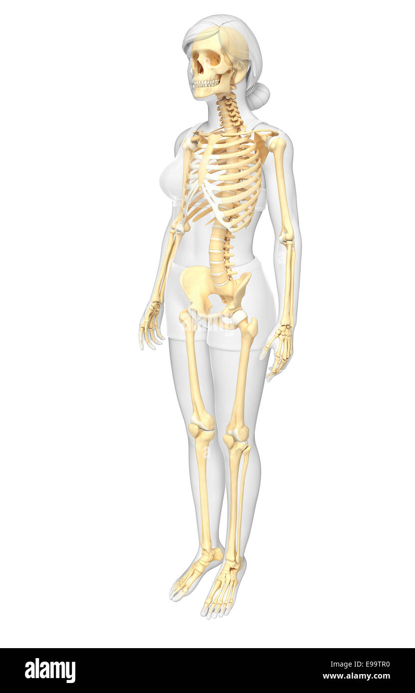 Ilustración del esqueleto humano, vista lateral Foto & Imagen De ...