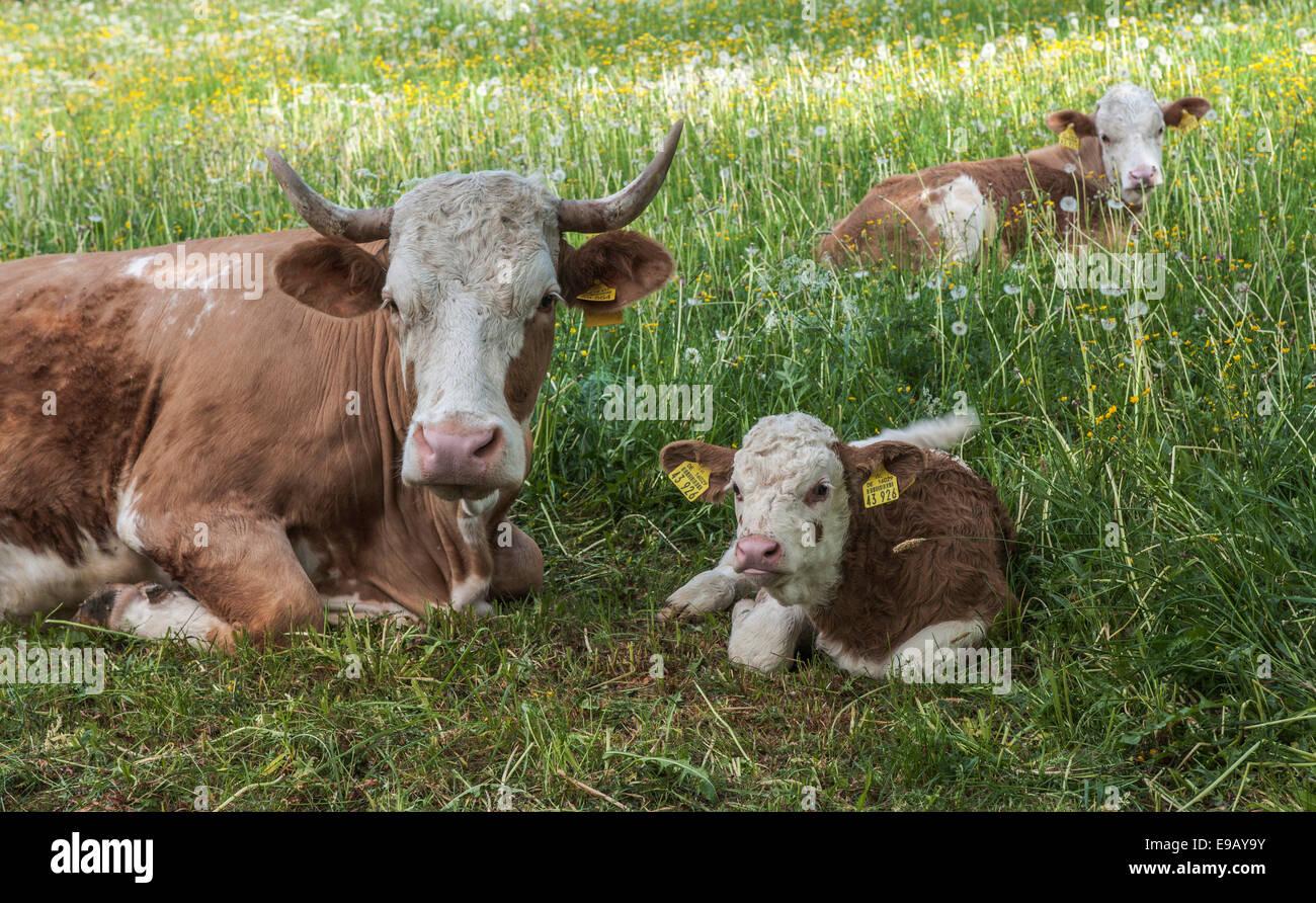 El ganado doméstico (Bos primigenius taurus) con terneros descansando en una pastura, Turingia, Alemania Imagen De Stock