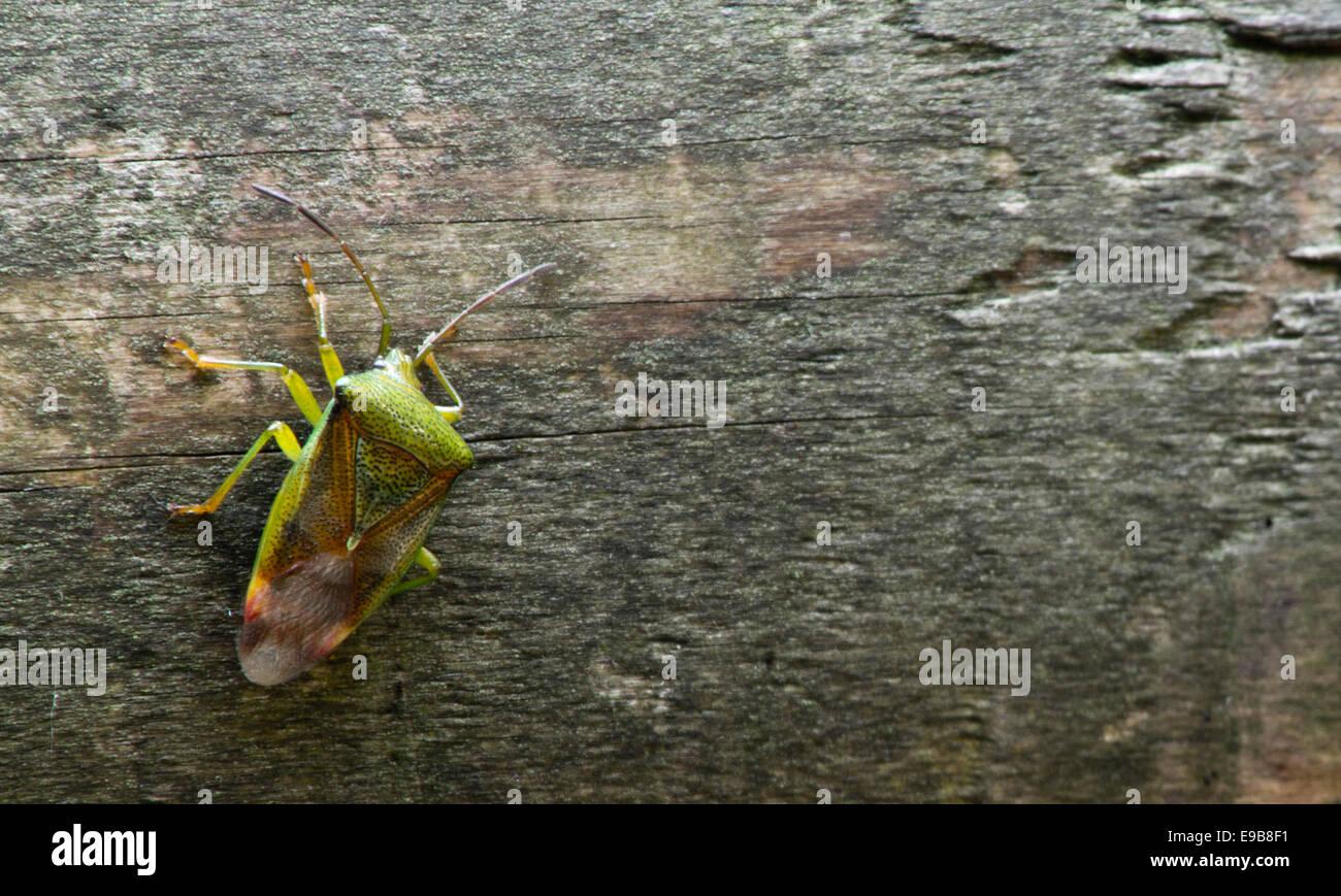 Escudo bug sobre un registro en Tollymore park en Newcastle, Condado de Down. Foto de stock