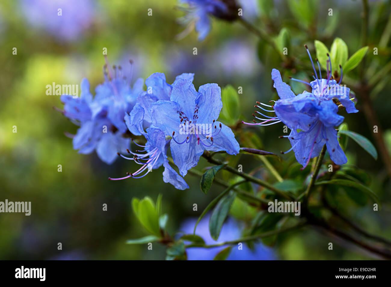 Blue Azalea Arbusto Fotografia De Stock Alamy