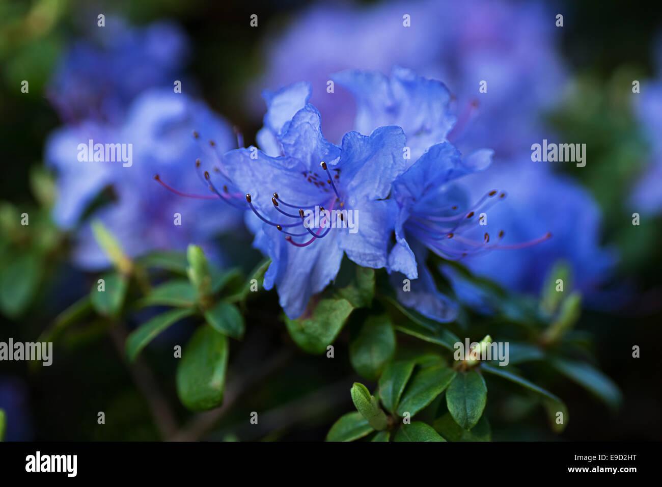 Azalea Azul Fotografia De Stock Alamy