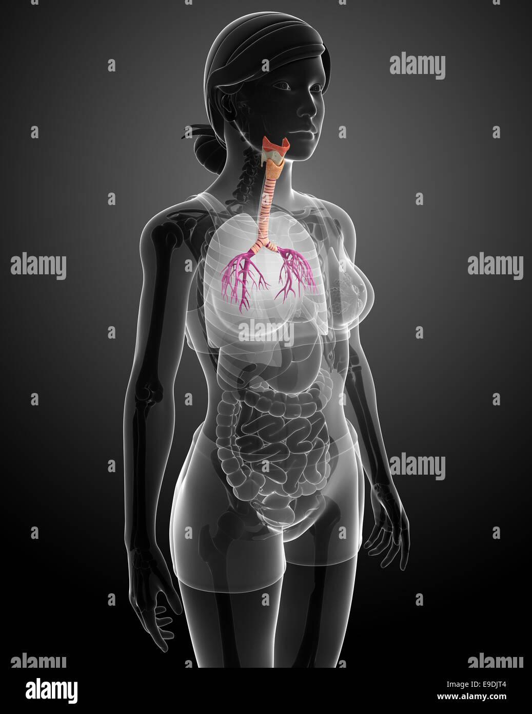 Ilustración de la anatomía de la garganta femenina Foto & Imagen De ...