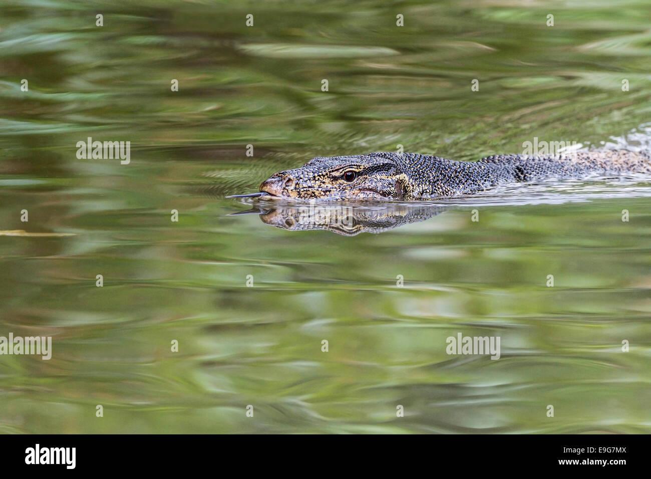 Monitor de agua Malaya (Varanus salvator) utiliza su lengüeta bifurcada para detectar desde qué dirección Imagen De Stock