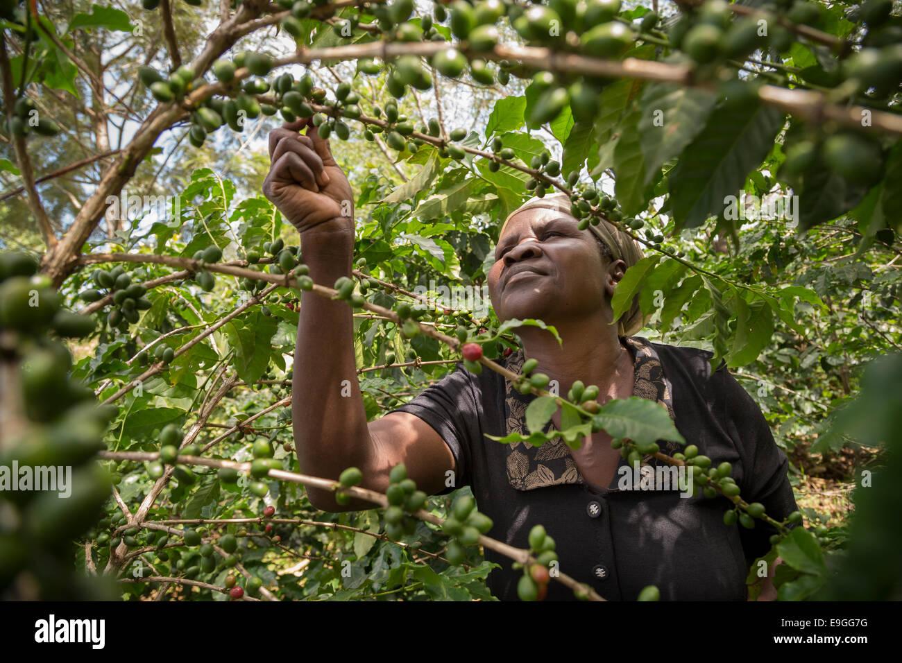 Un pequeño agricultor recoge las cerezas de café en su campo. Imagen De Stock
