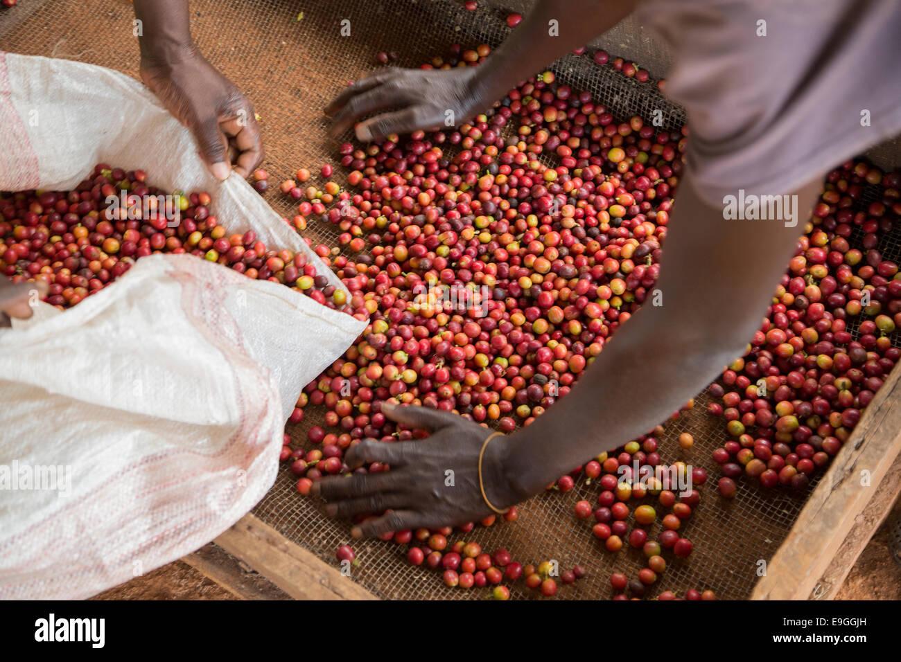 Las cerezas de café se clasifican y empaquetan antes del procesamiento en Orinde Sociedad Cooperativa de Agricultores Imagen De Stock