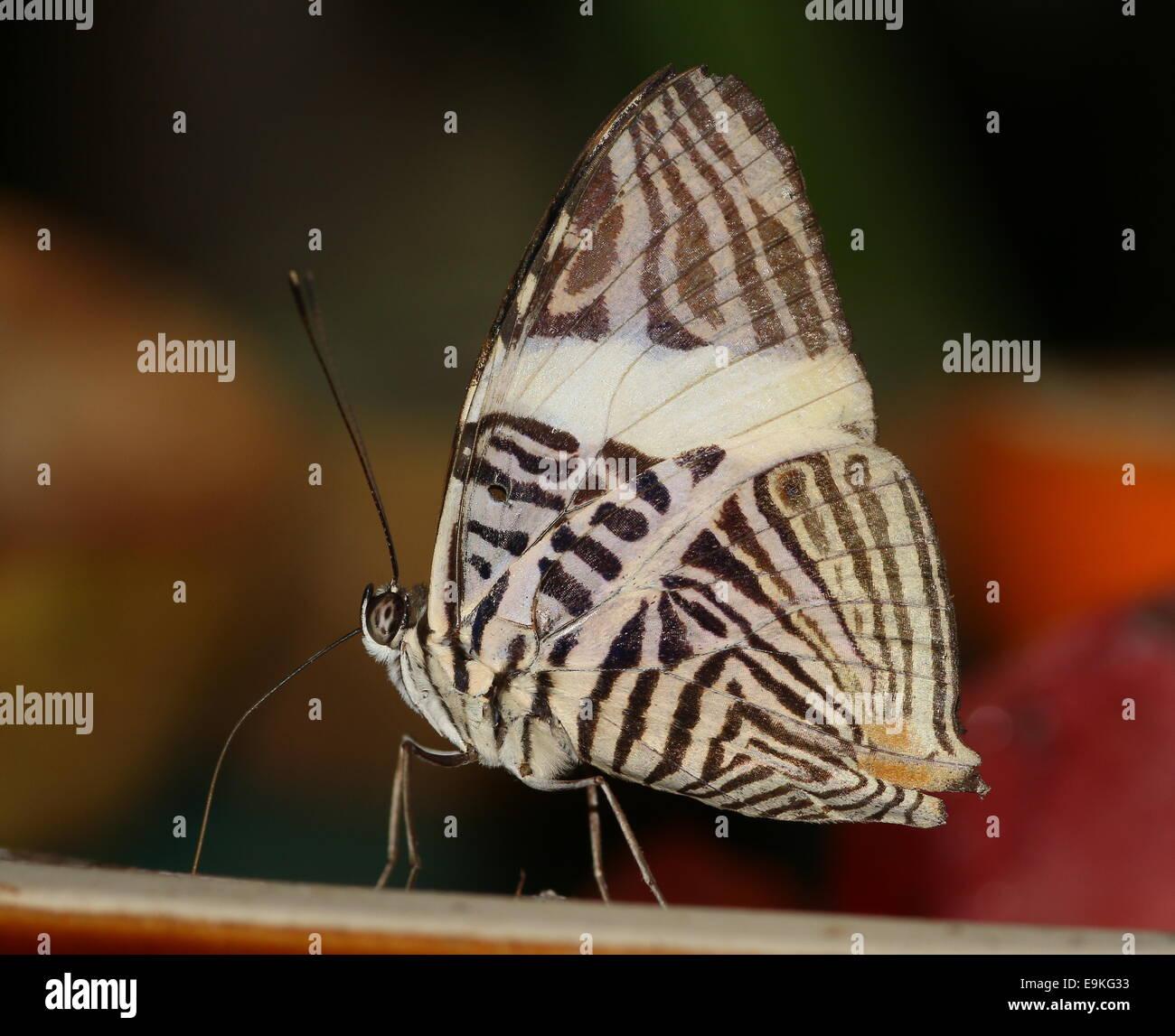 Mosaico de cebra Butterfly (Colobura dirce) alias Dirce Belleza Foto de stock