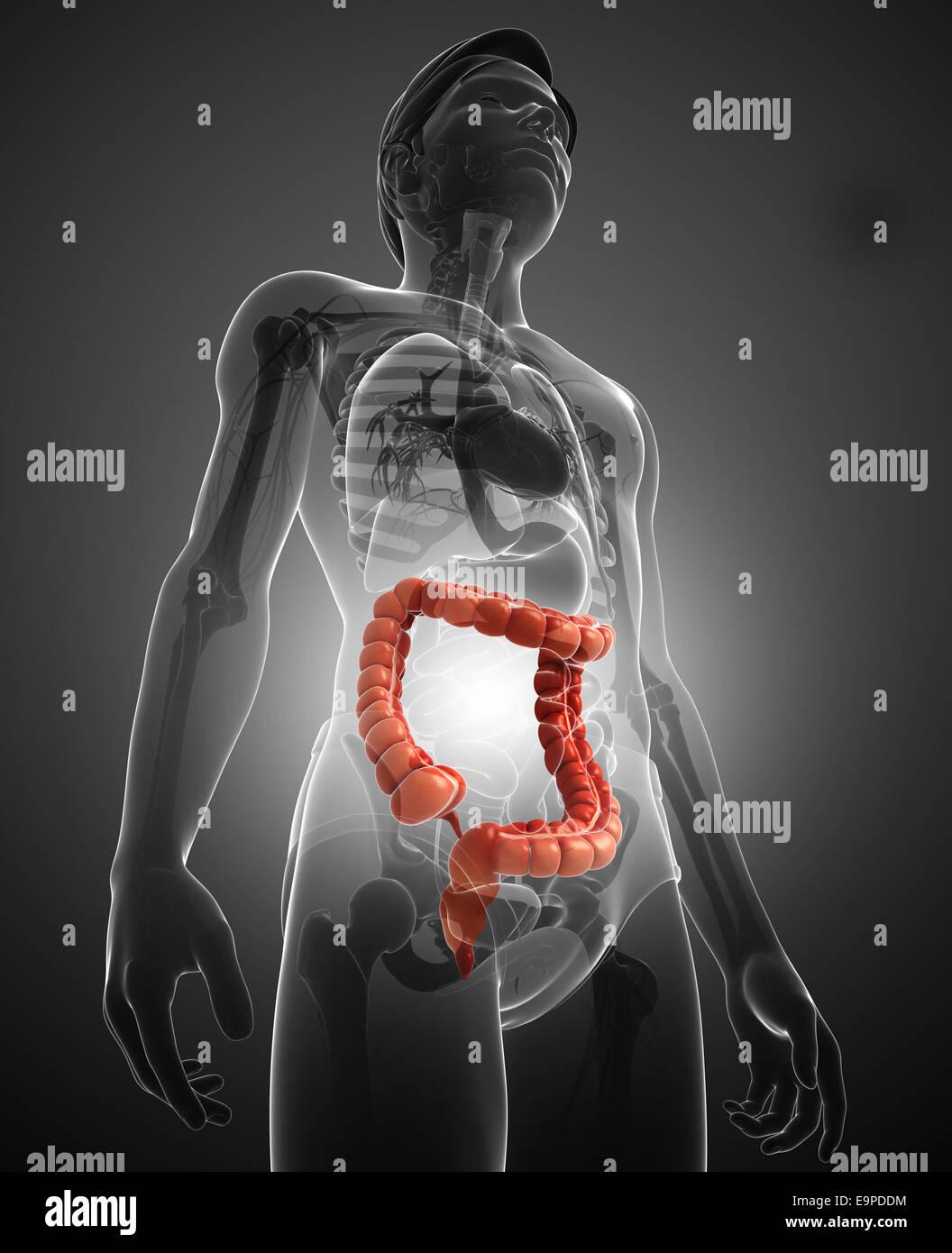 Ilustración de la Anatomía del intestino delgado macho Foto & Imagen ...