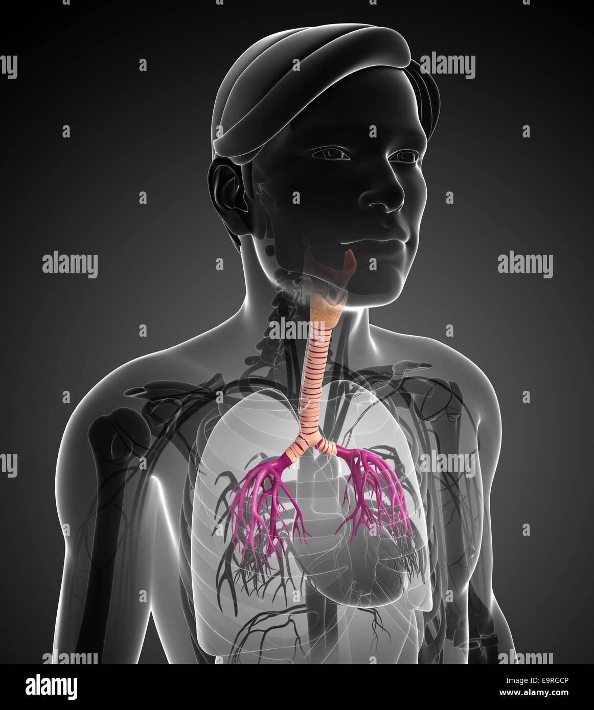 Increíble Anatomía De La Garganta Masculina Imágenes - Anatomía de ...