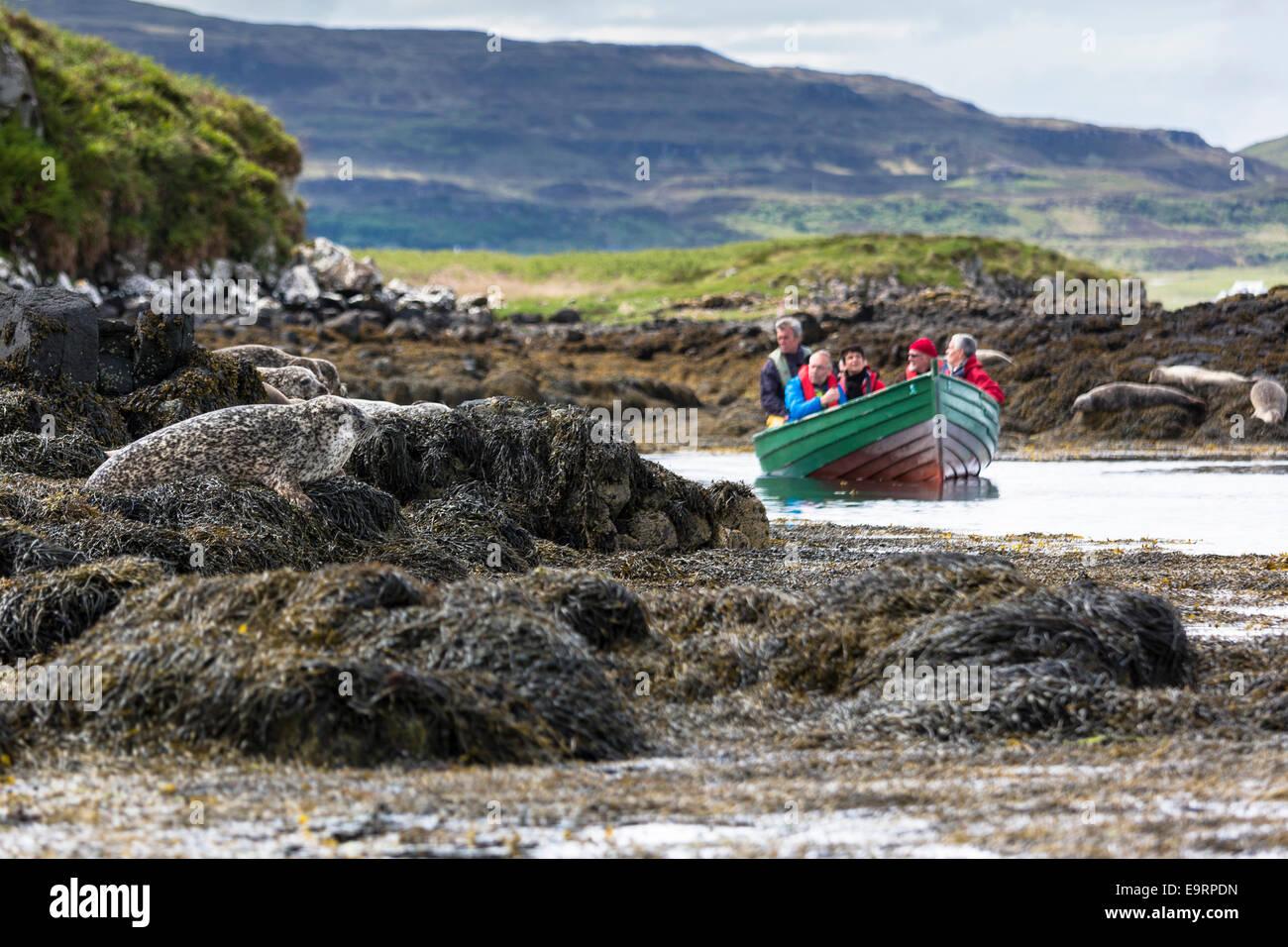 Los turistas de sealwatching viaje en barco para ver precinto o sello común Phoca vitulina Harbour, peregrino, Imagen De Stock