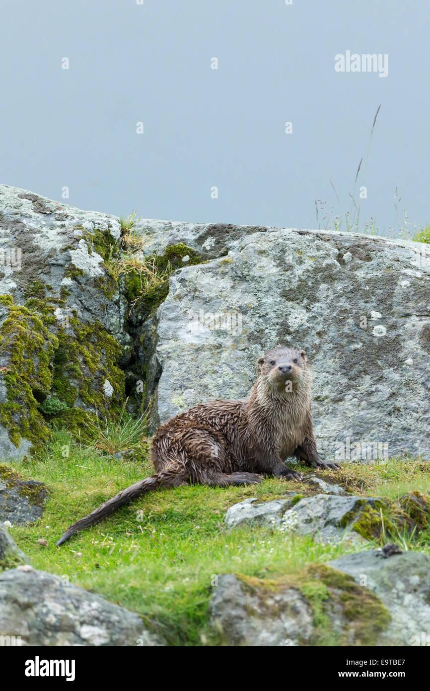 Nutria de mar, Lutra lutra, carnívoro semi-mamífero acuático, en tierra seca por lado de Loch en Isle Of Mull en el interior de las Hébridas y W Foto de stock