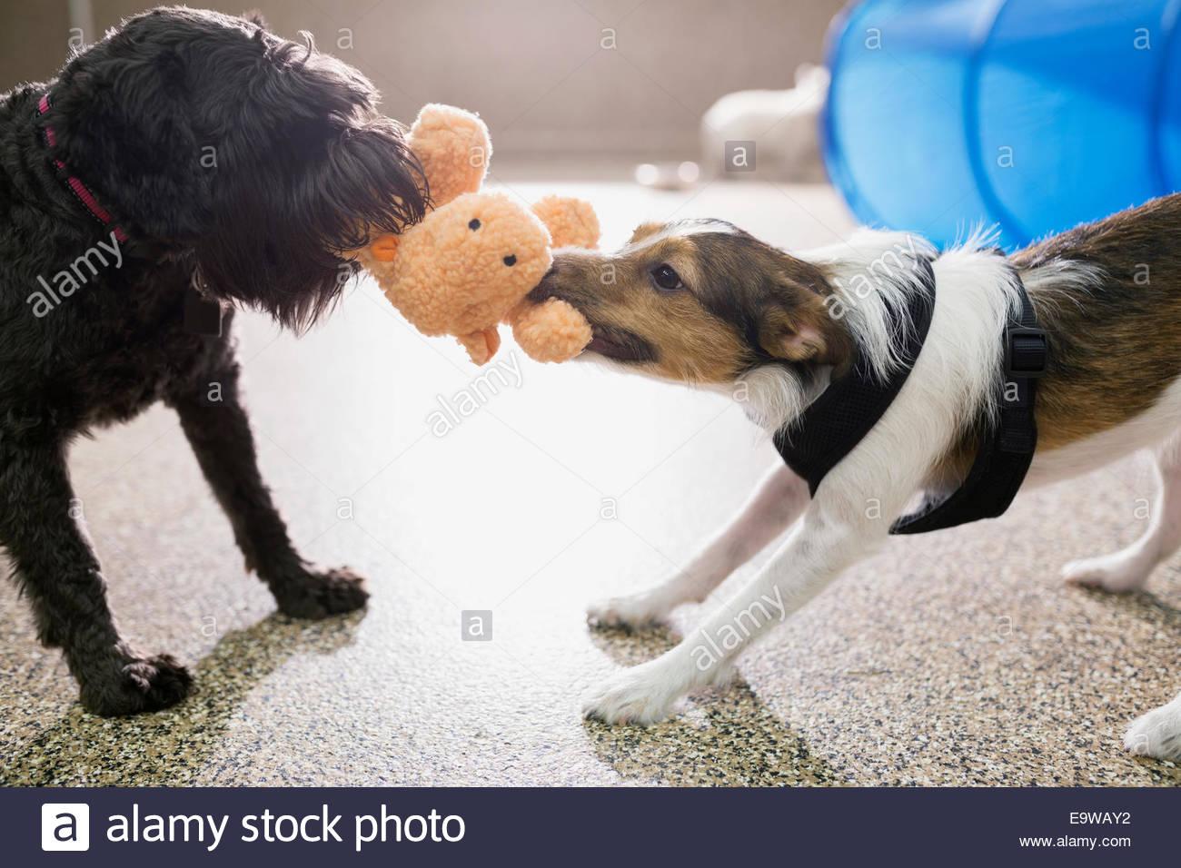 Perros jugando tug-of-war con peluche Imagen De Stock