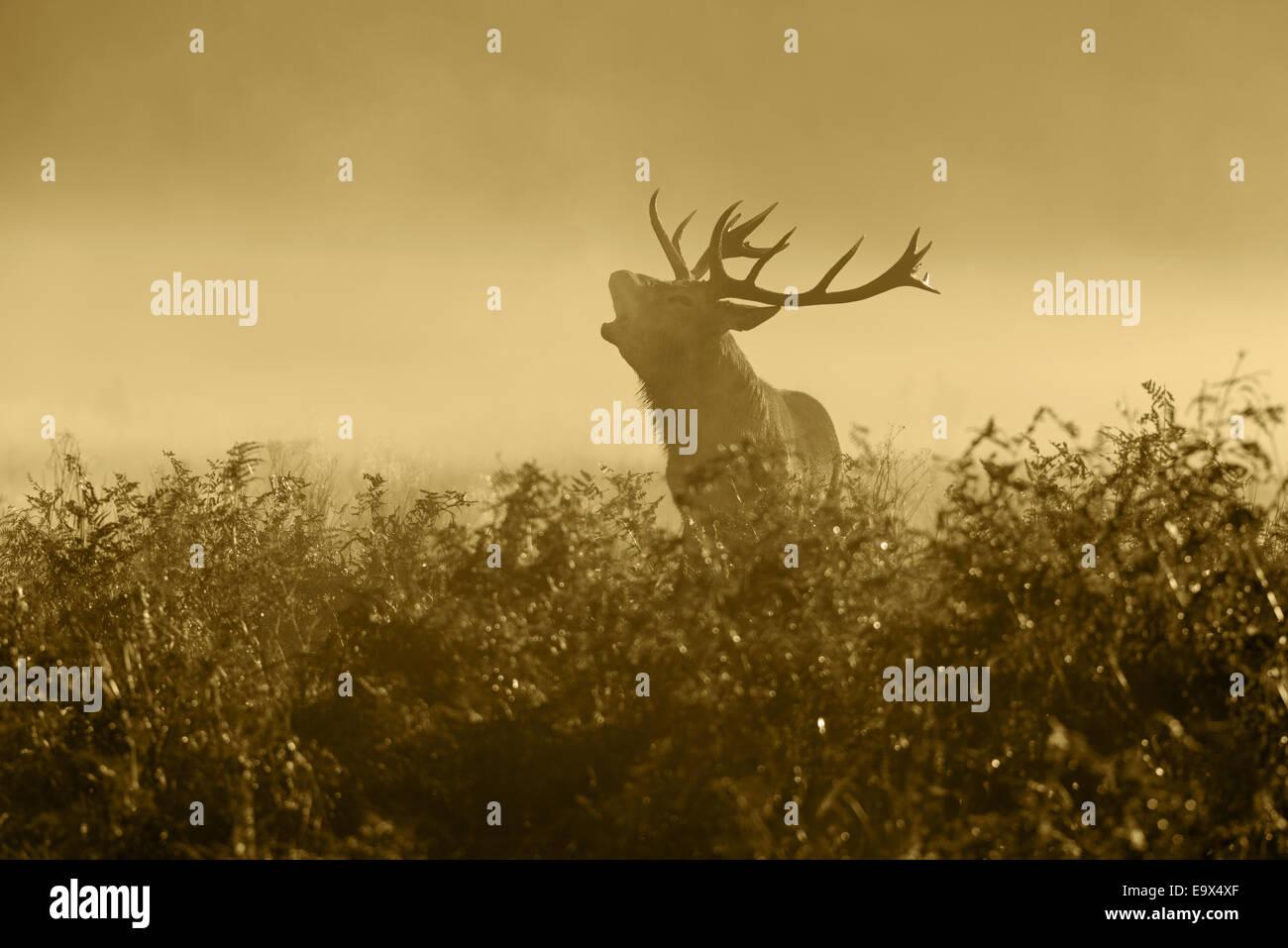 Un ciervo rojo (Cervus elaphus)- Satg en la neblina al amanecer mugidos durante la rutina en Richmond Park, Londres, Inglaterra, Reino Unido. Foto de stock