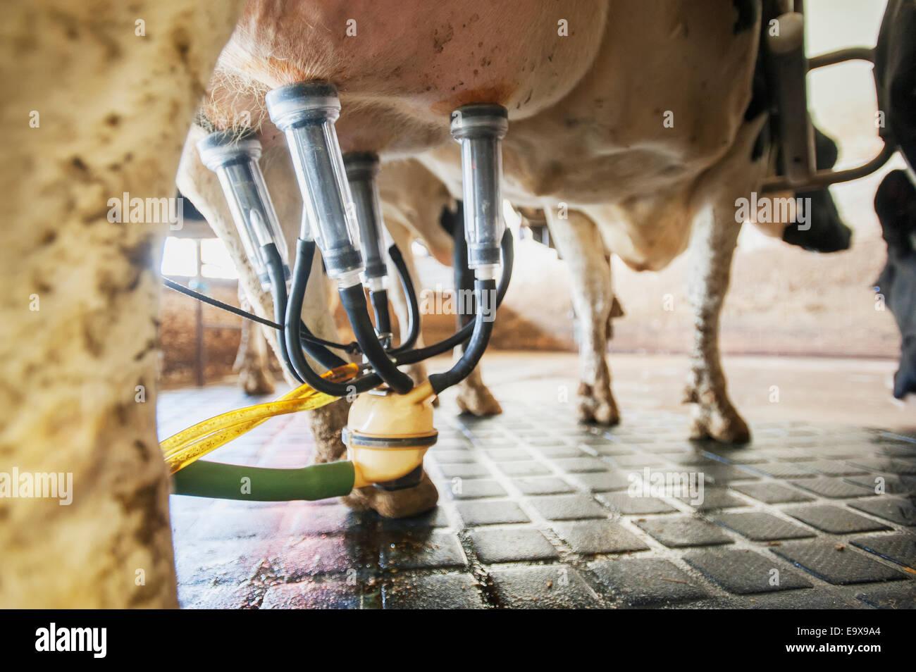 Cerca del equipo de ordeño adjunta a la vaca lechera; Ridgely, Maryland, Estados Unidos de América Imagen De Stock