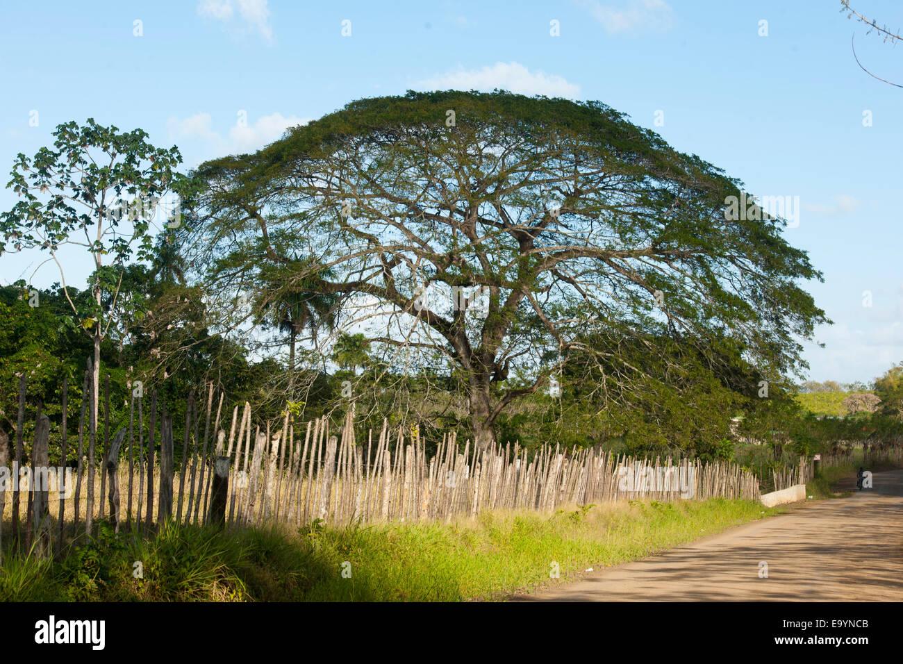 Dominikanische republik, osten, baum an der strasse zur rancho capote westlich von hato mayor Foto de stock