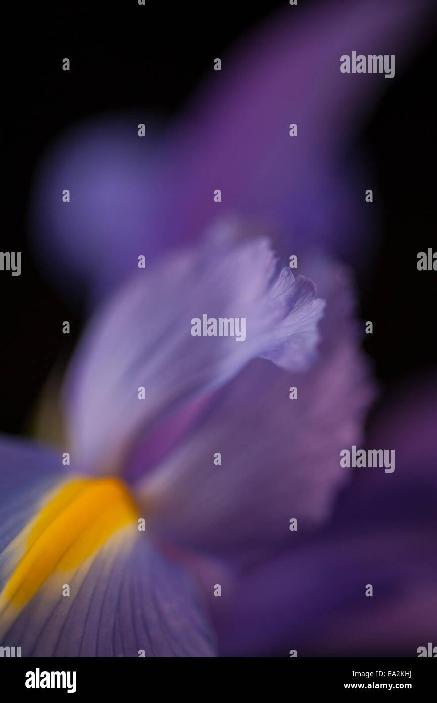 Cierre de un pétalo iris Foto de stock