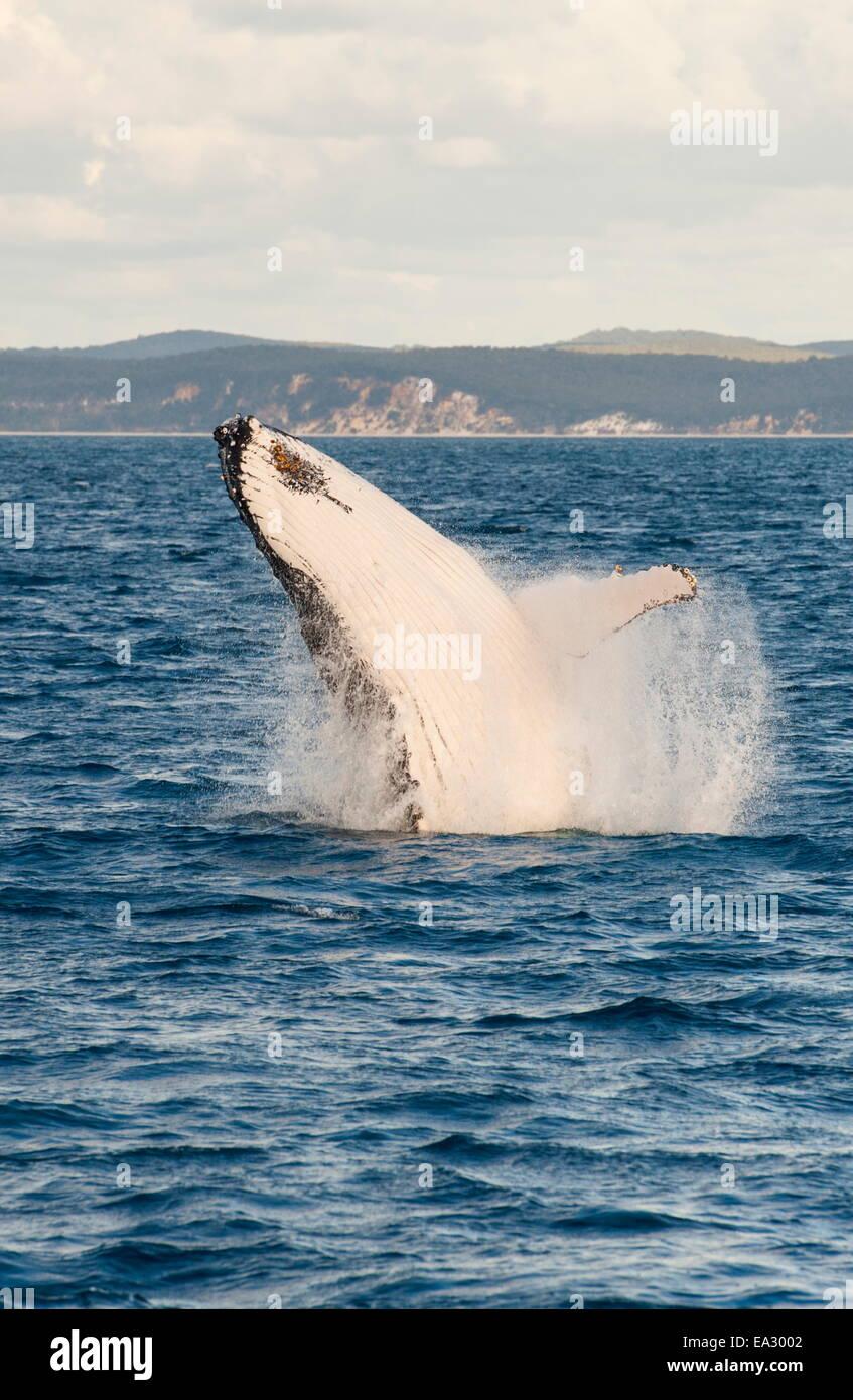 La ballena jorobada (Megaptera novaeangliae) Infracción, Hervey Bay, Queensland, Australia, el Pacífico Foto de stock
