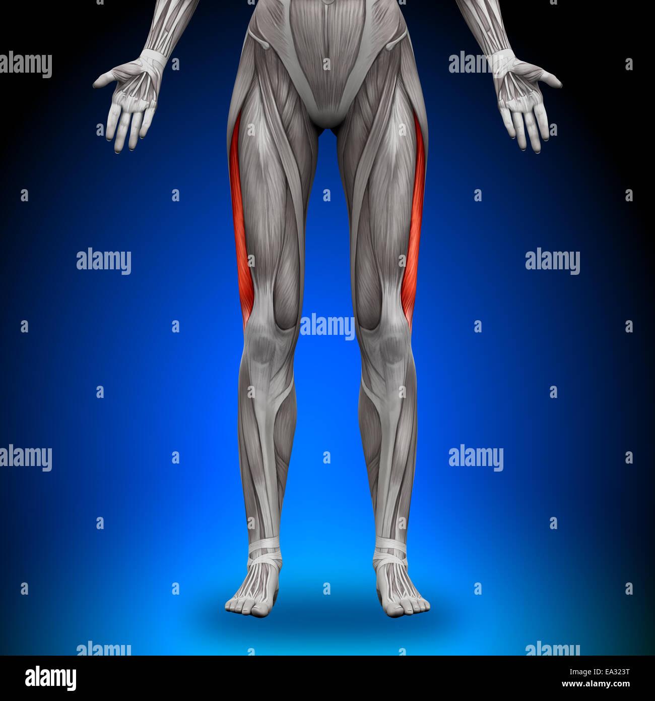 Vastus Lateralis - Anatomía femenina músculos Foto & Imagen De Stock ...