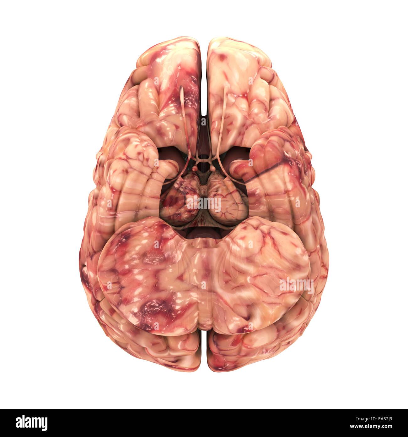 Anatomía El cerebro - Vista lateral aislado en blanco Foto de stock