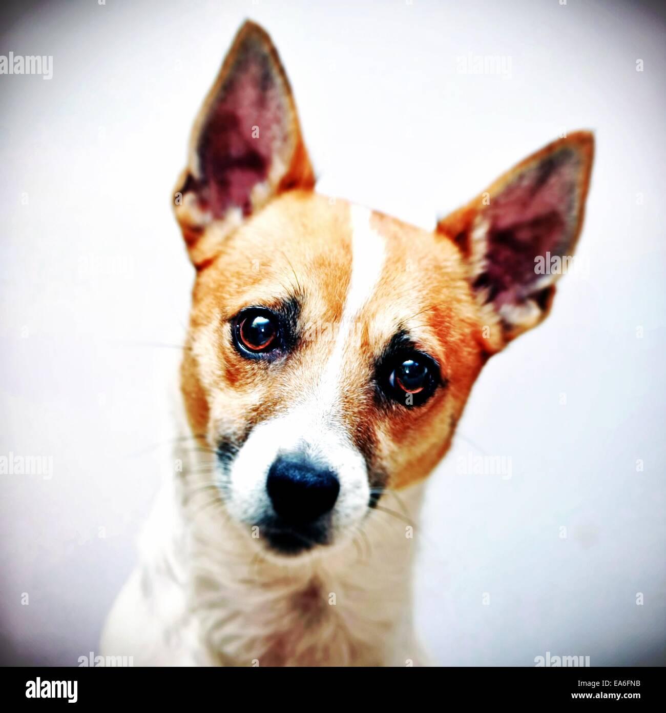 Cabeza de perro Jack Russell terrier shot Imagen De Stock