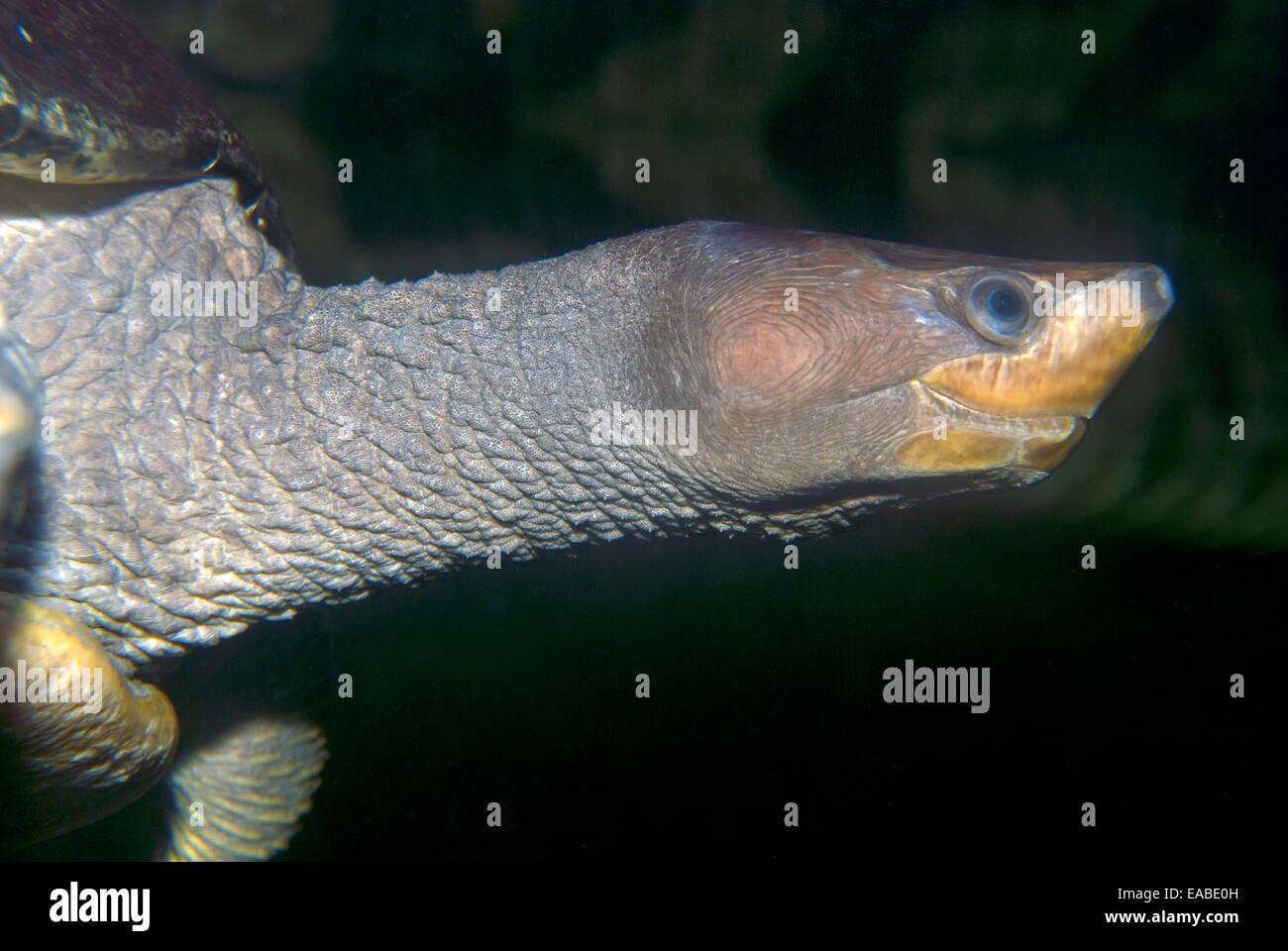 La tortuga de pantano nadar bajo el agua. Imagen De Stock