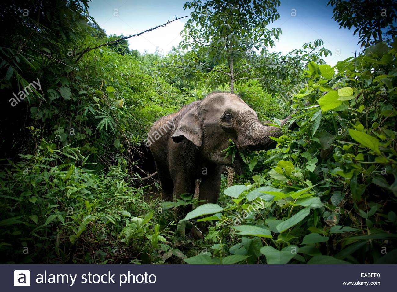 Elefante asiático en Bègles alimentándose en la selva, Tailandia Imagen De Stock
