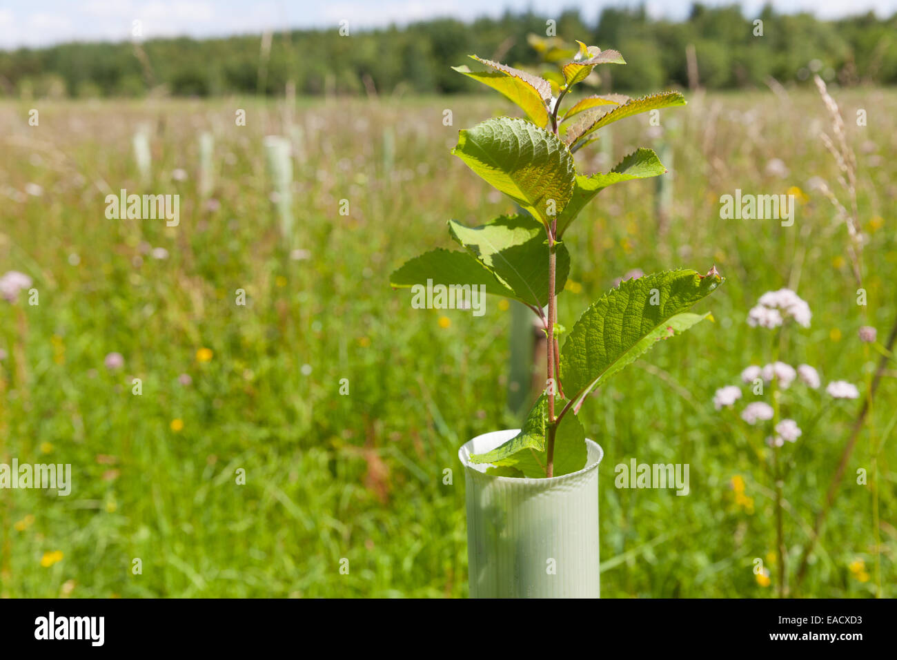La plantación de árboles para la reducción del riesgo de inundaciones en la cuenca del río Eden Foto de stock