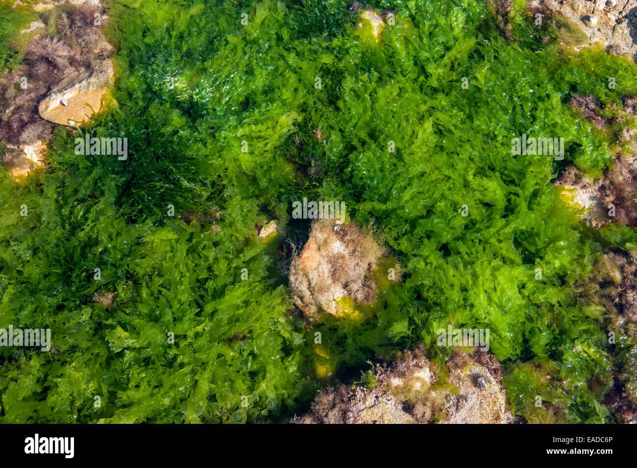 La lechuga de mar (Ulva lactuca) y gutweed / hierba (algas Enteromorpha intestinalis / Ulva intestinalis) alga verde en la roca descubierta Foto de stock