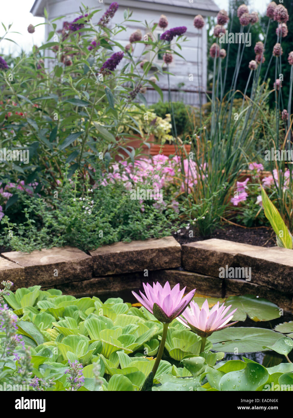 Watter lirios en casa jardín acuático Foto de stock