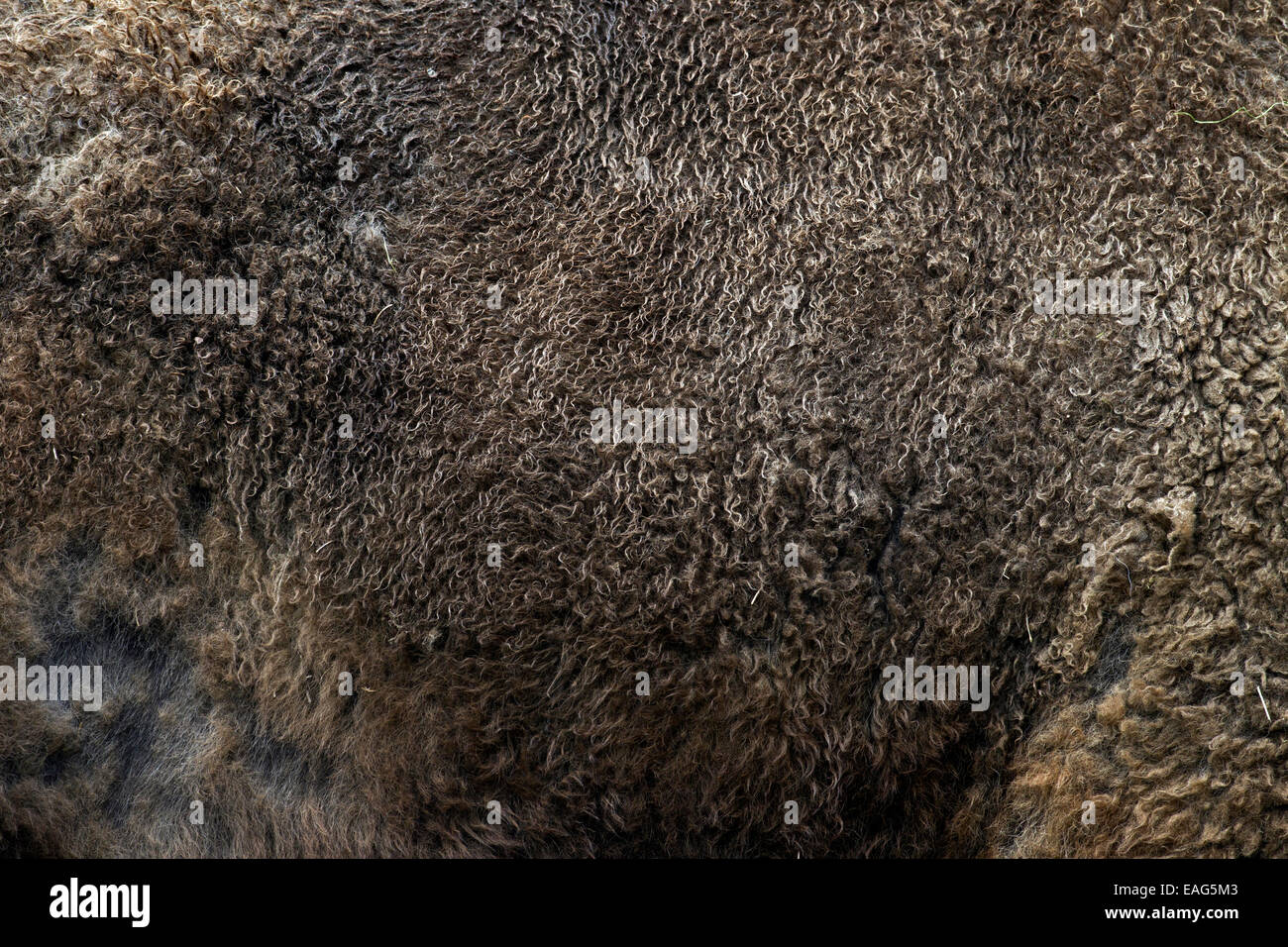 / Wisent bisonte europeo (bison bonasus) cerca de pieles Imagen De Stock